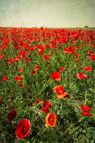 Fotografía vertical de un campo de amapolas en Quero, Toledo nº01