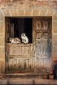 Cuadro vertical de unos gatos en Romanillos de Atienza, Guadalajara nº01