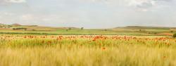 Fotografía panorámica de un campo de amapolas en Osa de la Vega, Cuenca nº01