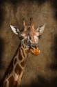 Cuadro vertical Zoológico (Jirafa Rothschild) de Madrid nº01